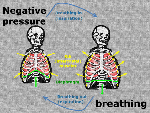 Diagram of a human skeleton illustrating how negative pressure breathing works