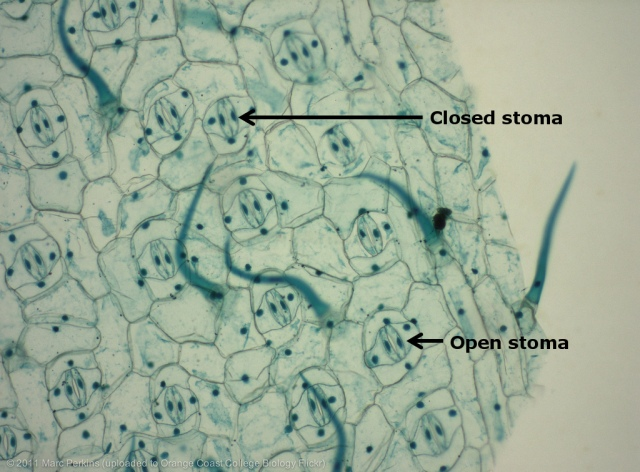 Picture of stomata on the surface of a leaf